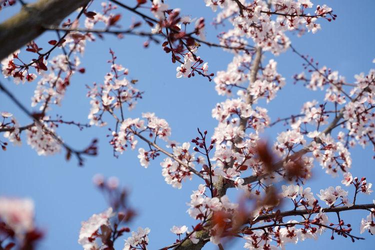 紫叶李 Tree Plant
