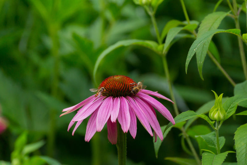 Bees Pollinating On Eastern Purple Coneflower At Park