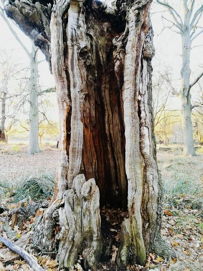 Tree Tree Trunk Nature No People Beauty In Nature Outdoors Hollow Tree Growth Textured  Close-up Texture HuaweiP9 Walking England, UK Uk London Richmond Park, London Rustic Textured