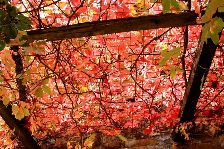 Day No People Outdoor Outdoors Red Red Leaved Velvet Red Leaves Red Lips Tuscany