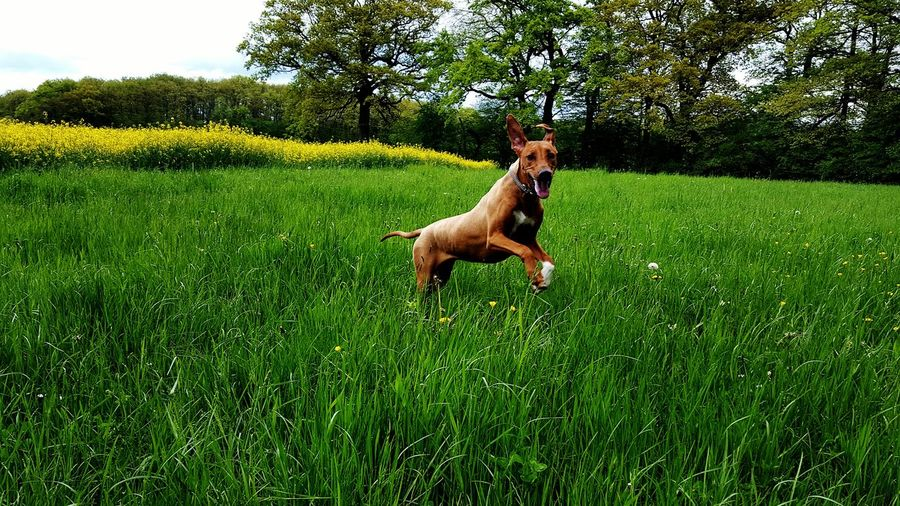 Rhodesian Ridgeback Running On Grassy Field