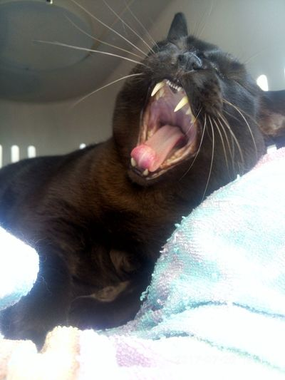 My personal home wild animal 😊 Pets Yawning Animal Themes Cat♡ Cats Of EyeEm Animal Tongue Mouth Open