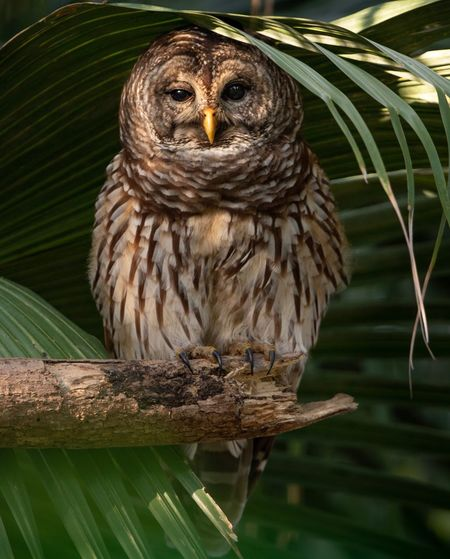 Barred owl in Florida Florida Barred Animal Themes Animal Wildlife Animal Animals In The Wild One Animal Vertebrate Bird Looking At Camera Portrait Tree Wood - Material Nature No People Close-up Plant Outdoors Bird Of Prey Owl Perching