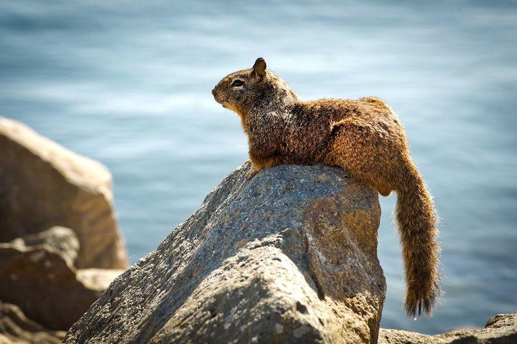 Squirrel Sitting On Rock By Sea