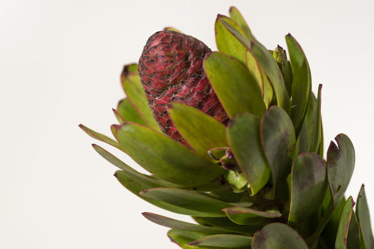 Protea Family Protea Blossom Close-up Flower Flower Head Leaf Protea South African Plants