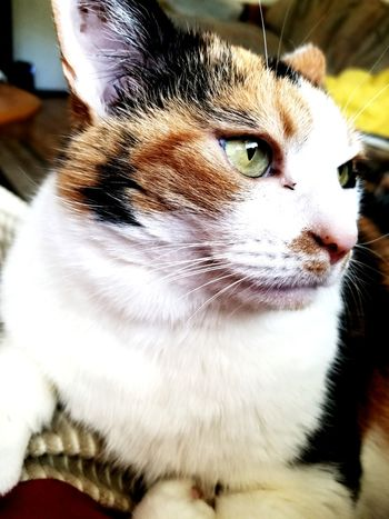 Pets Domestic Cat Domestic Animals Feline Close-up Animal Themes Indoors  Pussycat Lazy Cat Cats Cat Lying Down Oregon Cat Lovers Cute Cats Indoors  One Animal Cute Pets Beauty Relaxation Portrait Forrest Calico Cat Calico Cats Calico Cats Are Special
