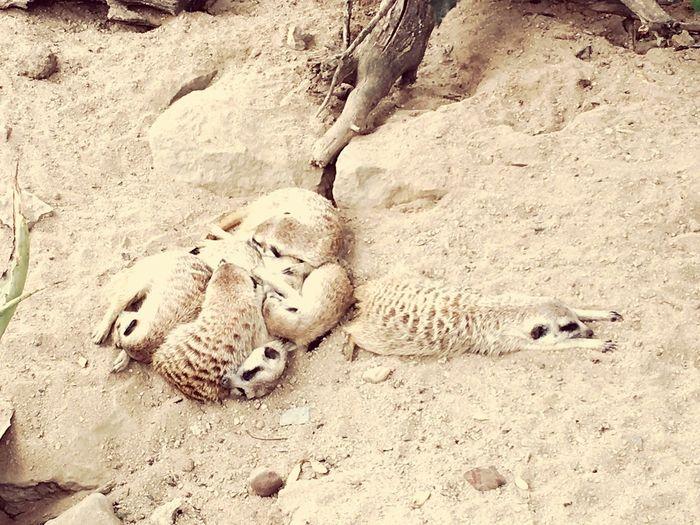 Meetkats Animal Themes Wildlife