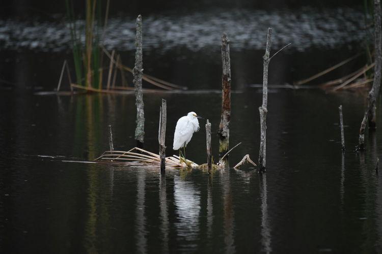 Egret in a lake