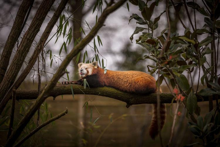 Animal Animal Themes One Animal Animal Wildlife Tree Animals In The Wild Plant Red Panda