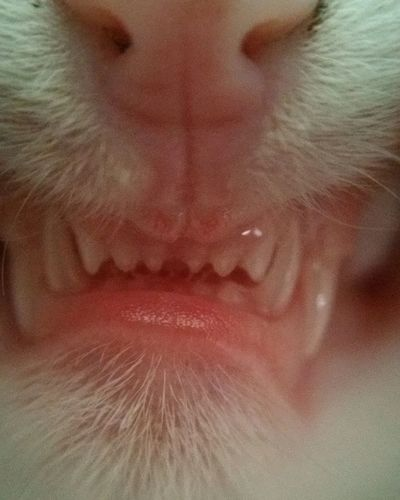 Kitten Teeth Fangs Viscous Baby Cat Baby Teeth Close-up Closeup Macro Macro Photography Macro_collection New Kitty Nofilter