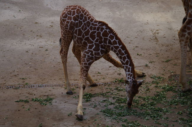Animal Markings Animal Themes Blijdorp Day First Steps Giraffe Nature No People One Animal Safari Animals Young Giraffe