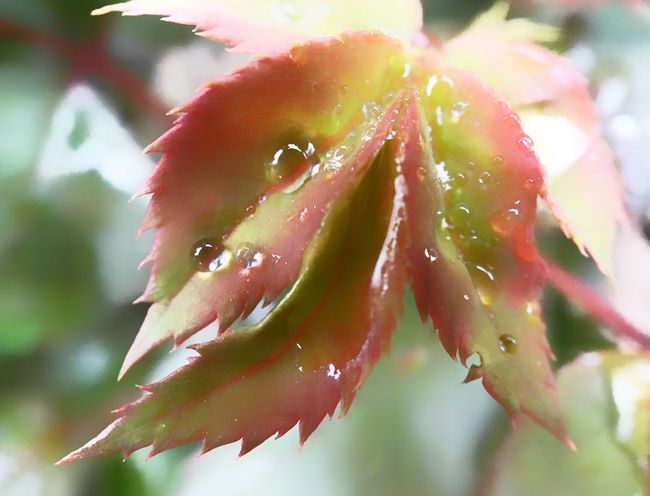 Rose leaves with dew. Rosé Rose Plant Leaves Dew Dew Drops Dew Drops On Leaf Growth Close-up Nature Drop Flower Freshness No People Outdoors Fragility Wet Plant Beauty In Nature Day