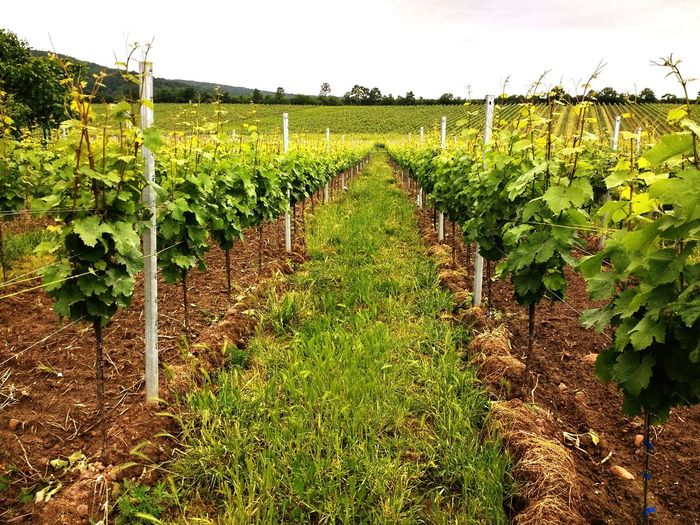 Wo der Wein sein Anfang hat... EyeEm Nature Lover Wein Vine Trauben Grapes Rural Scene Cereal Plant Agriculture Vine - Plant Corn Fruit Vegetable Field Irrigation Equipment Grape Vineyard Plantation Vine Winemaking Red Grape