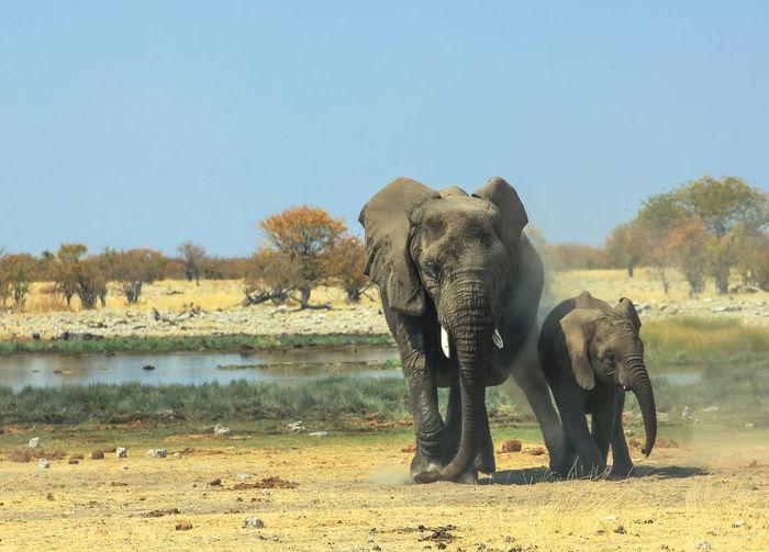 Elephants on field against clear sky