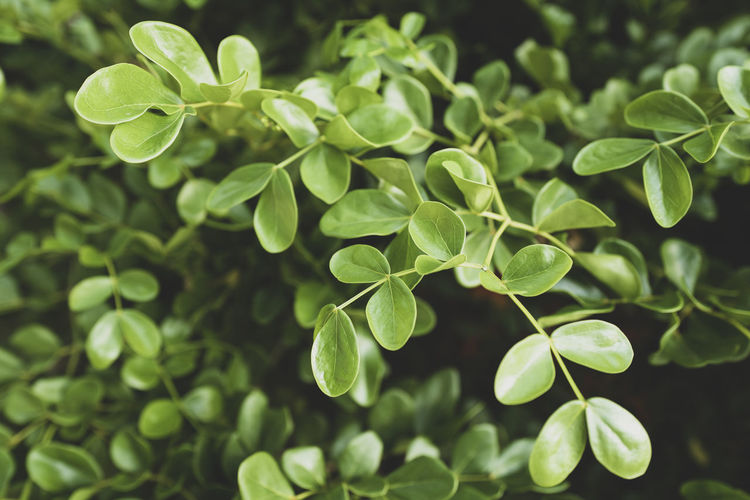 Green Color Plant Growth Leaf Plant Part Nature Close-up Beauty In Nature No People Day Tranquility Selective Focus Freshness Outdoors Focus On Foreground Food And Drink Backgrounds Full Frame Land Clover Leaves
