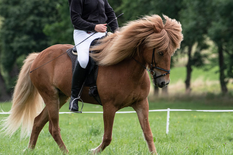 Icelandic Horses Show in LWL Open Air Museum Detmold Icelandic Horse Riding Horseback Riding Domestic Animals Mammal Domestic Horse Animal Themes Animal Vertebrate Grass Activity Real People Land Field Plant Day One Person One Animal Outdoors Herbivorous