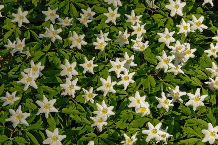 Many wood anemones, overhead view Anemone Nemorosa Nature Wood Anemone Beauty In Nature Blooming Flower Flower Head Forest Forest Flowers Freshness Full Frame Green Color Growth Naturelovers No People Outdoors Petal Plant Spring Spring Flowers Springtime White Background White Flower White Flowers Wood Anemones
