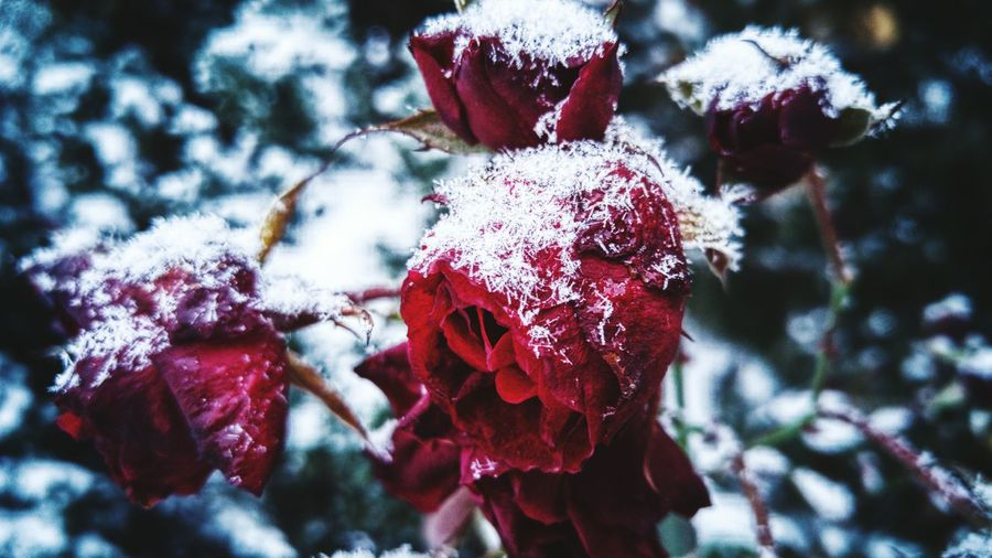 It's Cold Outside Winter Snow ❄ Rose🌹