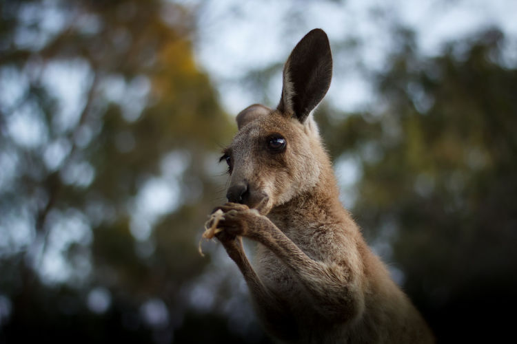 Close-up of an kangaroo looking away