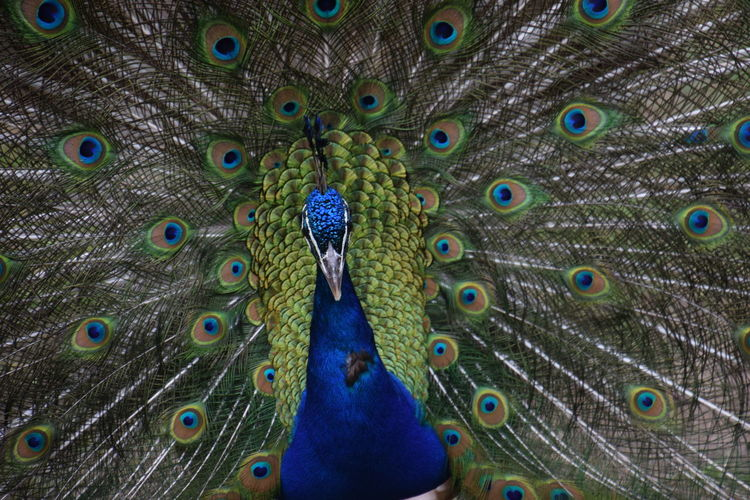 peacock - close-up Animal Crest Animal Themes Animal Wildlife Animals In The Wild Beauty In Nature Bird Blue Close-up Day Fanned Out Feather  Green Color Looking At Camera Multi Colored Nature No People One Animal Outdoors Peacock Peacock Feather Portrait Pride Vanity