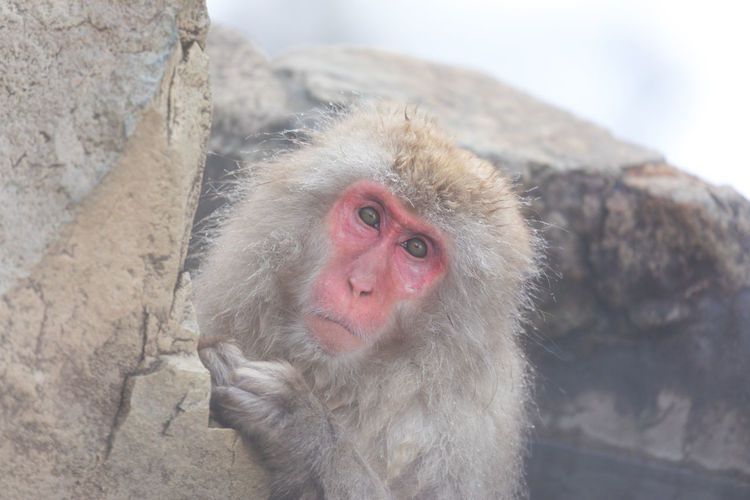 Japanese snow monkey in hot spring Snow Monkey Japanese Macaque Monkey Hot Spring Jigokudani-Snow-Monkey-Park Animal Animal Themes Animals In The Wild Cold Temperature Animal Wildlife One Animal Primate Mammal Mountain Winter Vertebrate Day Rock Solid Rock - Object Outdoors No People Animal Head  White Hair
