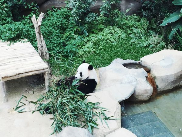 Bamboo Black Black & White Black And White Blackandwhite China Panda Domestic Animals Grass Grass Green Color Mammal National Zoo Pandan Pets Plant Relaxing Stone Zoo