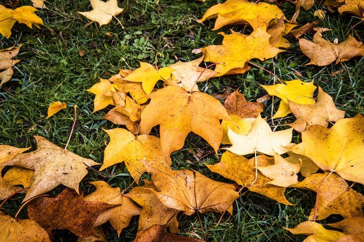 High angle view of yellow maple leaves on field
