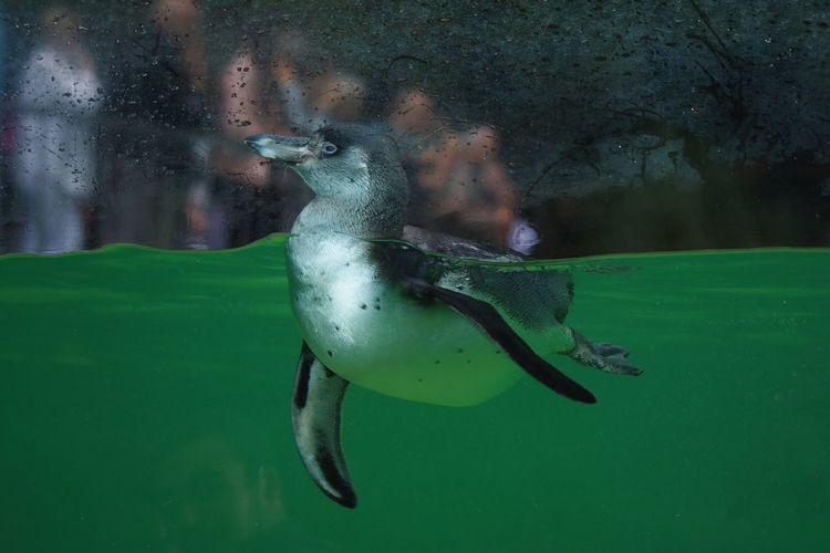 penguin Zoophotography UnderSea Water Swimming Sea Life Underwater Full Length