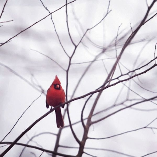 And yet...there are beautiful things about winter, the contrast of the male Cardinal against a gray sky. #instagramhub #wildlife #the_guild #primeshots #winter #jj_forum #jj #cardinal #redbird Wildlife Cardinal Jj  Instagramhub Jj_forum The_guild Primeshots Redbird Graphia_c1 Winter
