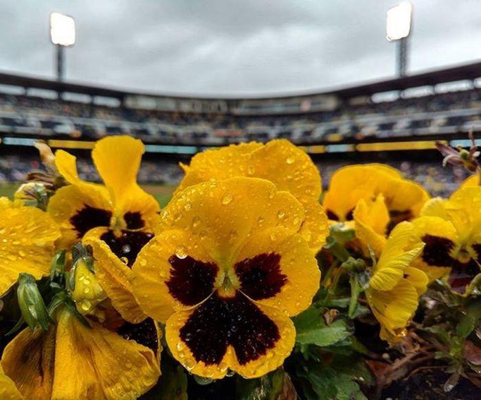 A rainy day at the ballpark. Letsgobucs Pirates Buccos . . . . . . . Flower Blackandyellow Waterdrop Rain Baseball Dingers Pittsburgh Moodygram Illgrammers Citykillerz GetOutThere Delay Pirates