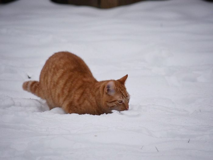 Playing in the snow Mammal Animal Themes Domestic Animals One Animal Pets Snow Domestic Cat Cold Temperature Winter No People Feline Nature Outdoors Close-up Day Cats Outdoor Photography Winter Wonderland Wintertime Snow ❄ Ginger Cat Snow Covered Cats Of EyeEm Winter Pet Photography