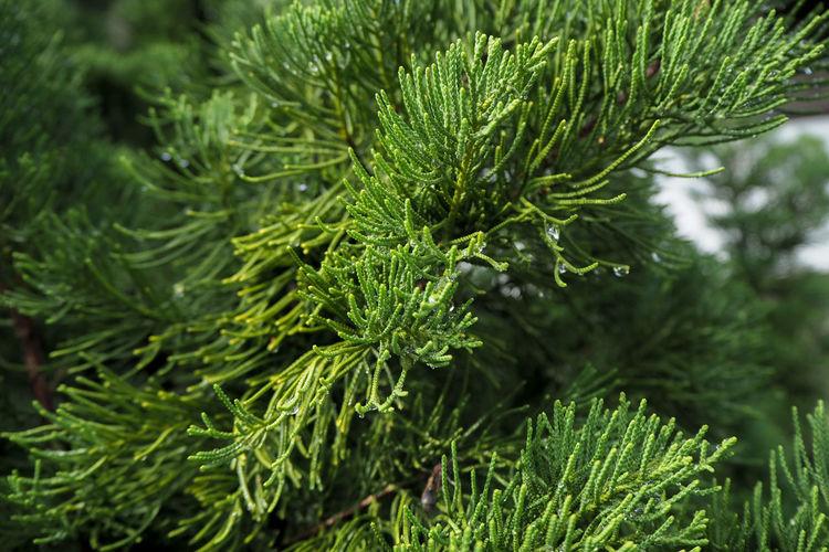 Close-up of pine tree