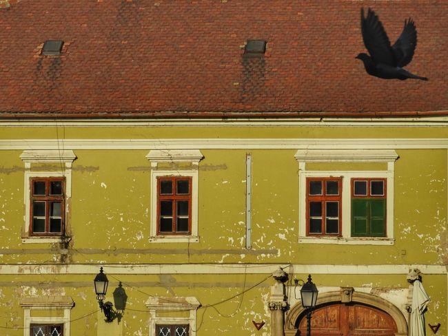 Vac Bird Bird Photography Dove Galamb Moment Momentcaptured Flyingbird Façade Window