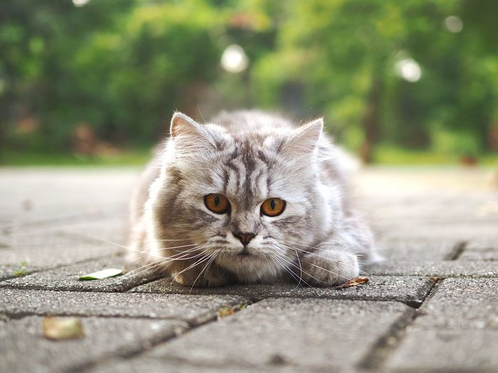 Portrait of a cat on footpath