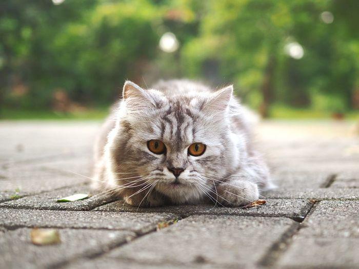 Look into my eyes... Pets Portrait Kitten Feline Domestic Cat Looking At Camera Defocused Lying Down Cute Whisker Persian Cat  Maine Coon Cat Yellow Eyes Animal Eye Fluffy HEAD Ear Cat