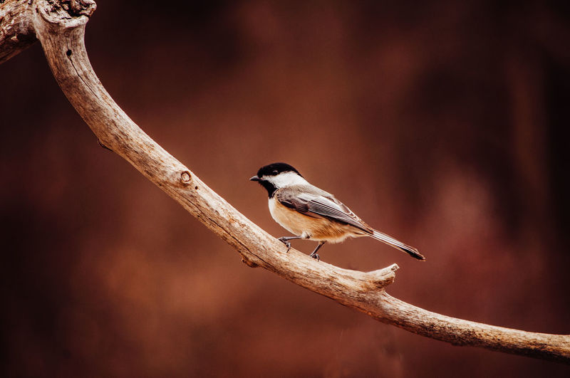 Animal Themes Animal Wildlife Animals In The Wild One Animal Animal Bird Vertebrate Perching Branch Tree No People Nature Focus On Foreground Plant Outdoors Day Twig Close-up Beauty In Nature Red
