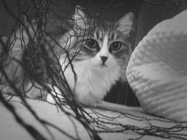 Cat Animals Black And White TheMinimals (less Edit Juxt Photography) Kyra