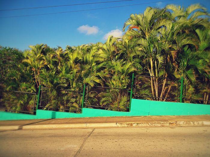 Found during a photowalk in Holguin, Cuba Caribbean Cuba Green Color Growth Holguin Nature No People Palms Plant Sky Street Tranquil Scene Tree
