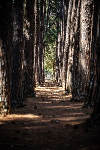 Nature Vibes | Trees Tree Tree Trunk Plant No People Trunk Forest Nature Land The Way Forward Outdoors Selective Focus Sunlight Growth WoodLand Direction Day