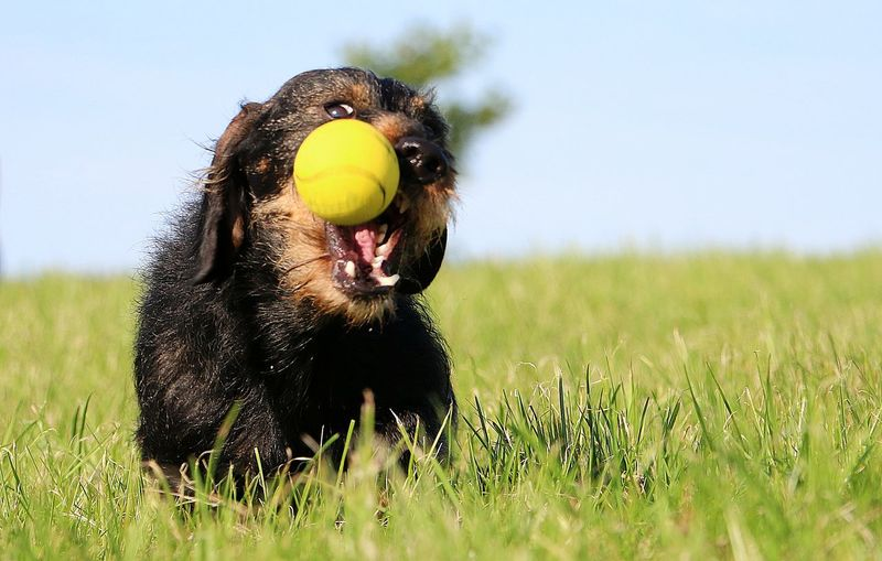 wire haired dachshound have fun with a ball in the park Animal Themes Ball Catching Close-up Dackelblick Day Dog Domestic Animals Field Garden Photography Grass Mammal Nature No People One Animal Outdoors Pets Play Rauhaardackel Sky Teckelphoto Toy Wienerneustadt Wire Haired Dachshund Wired Haired