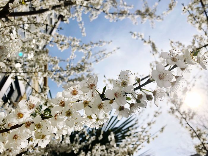 Spring Flower Japan Cherry Tree Apple Tree Background Sakura Blossom Plant Fragility Flower Flowering Plant Vulnerability  Beauty In Nature Tree Day Freshness Nature Growth No People Close-up Sky Branch Springtime Blossom Petal White Color
