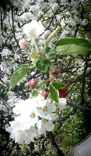 Äppelblom i pingst