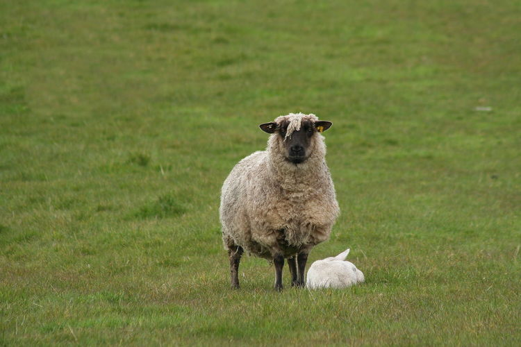 Portrait of sheep with rabbit on field