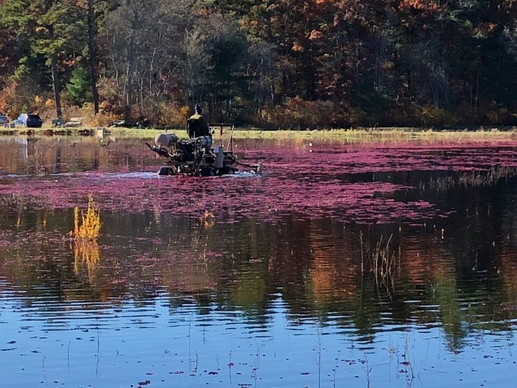 Harvesting cranberries using a tractor fitted with a rotating wheel that frees the berry from it's plant. Reflection Water Lake Plant Beauty In Nature Tree Lifestyles Outdoors