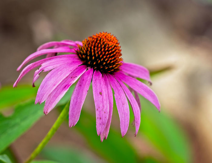 Echinacea Flower Beauty In Nature Close-up Coneflower Day Echinacea Flower Flower Head Flowering Plant Focus On Foreground Fragility Growth Nature No People Outdoors Petal Pink Color Plant Purple Vulnerability