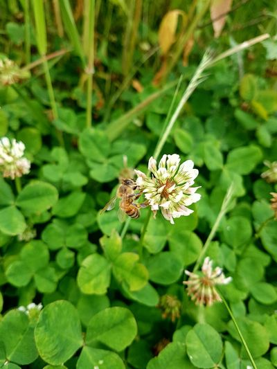 Now we have Spring. Spring Clovers  Bee Perching Butterfly - Insect Pollination Animal Themes