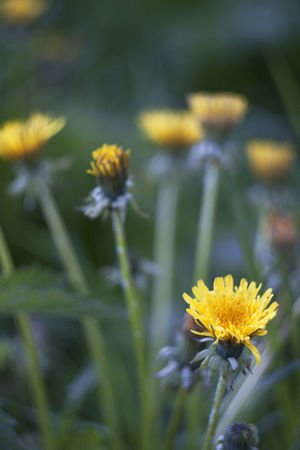Background Beautiful Bokeh Beauty In Nature Close-up Dandelions Flowers Grass Green Nature Selective Focus Yellow Color Yellow Flower
