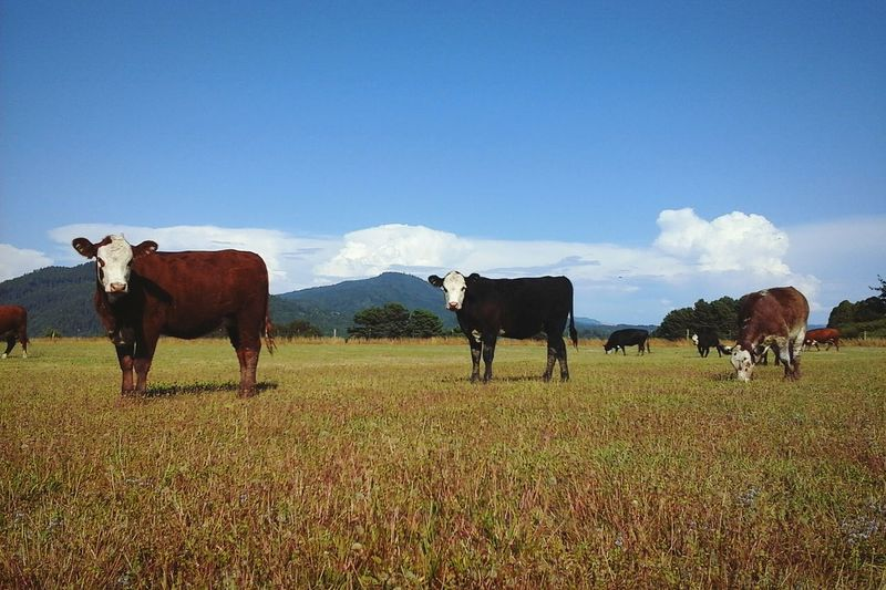 Cows Standing On Grassy Field Against Blue Sky