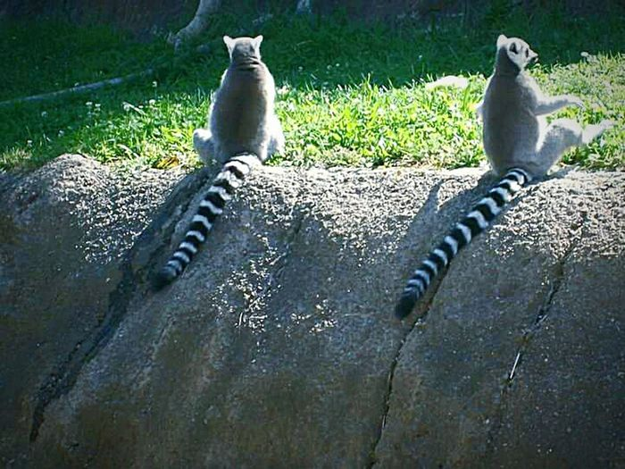My Photography Oakland Zoo Nature Photography My Point Of View This Week On Eyeem Lemurs Stripes Tails