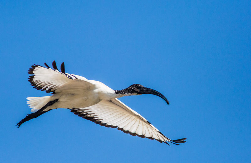 Low angle view of ibis flying against sky